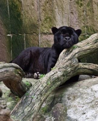 3900221679-pantera-negra-escapo-francia-sido-vista-luxemburgo